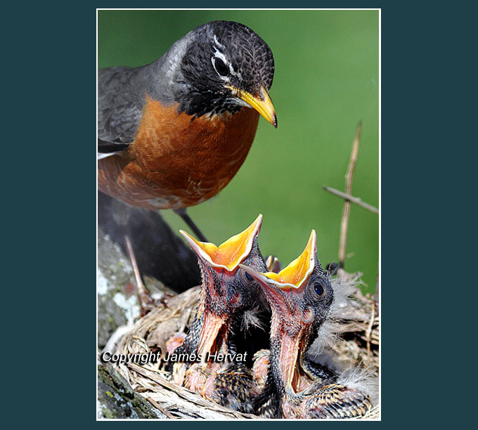 Photo of robin mother and family